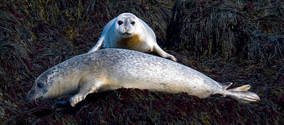 Photograph - Seal Massage 5662 by Brent L Ander