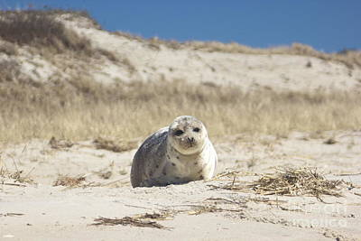 Photograph - Seal On Monomoy Island by Amazing Jules