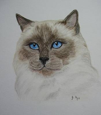 Drawing - Seal Point Siamese by Joan Pye