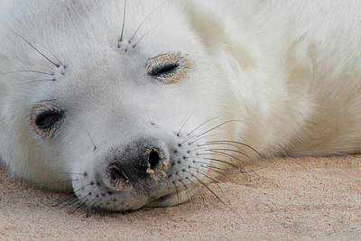 Horsey Photograph - Seal Pup by Ian Hufton