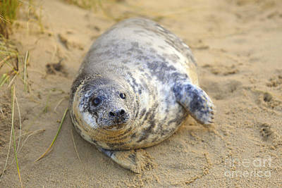 Photograph - Seal Pup On The Beach by Paul Cowan