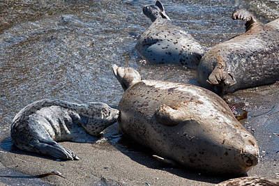 Phoca Vitulina Photograph - Seal Rookery by Kathleen Bishop