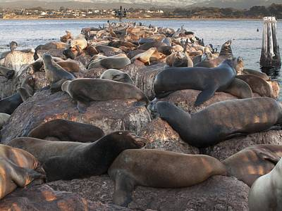 Photograph - Seals And Seal Lions by Derek Dean