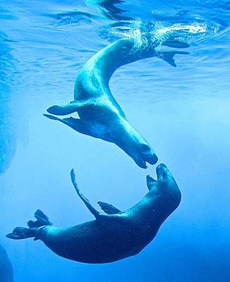 Photograph - Seals At Play by Kathryn Barry