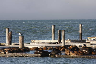 Photograph - Seals by Kimberly Oegerle