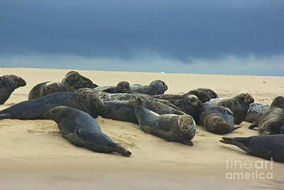 Photograph - Seals Of Monomoy by Amazing Jules