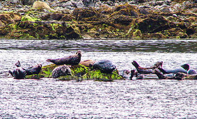 Seals Resting Art Print by Robert Bales