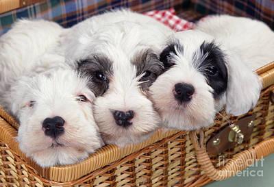 Sealyham Terrier Dog Print by John Daniels