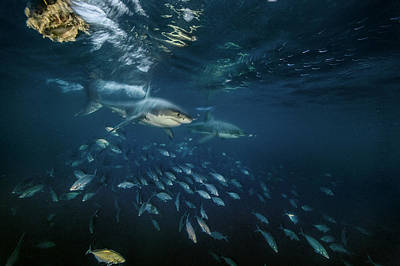 Neptune Islands Photograph - Searching For Seals, Two Great White by Brian Skerry