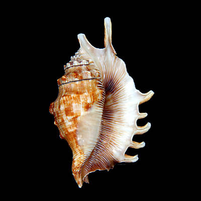 Photograph - Seashell Lambis Digitata by Jennie Marie Schell