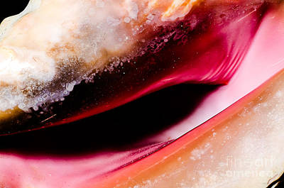 Photograph - Seashell Opening Closeup by Danny Hooks