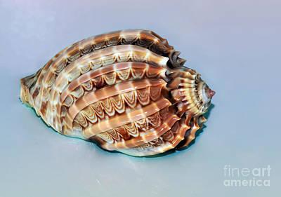 Photograph - Seashell Wall Art 9 - Harpa Ventricosa by Kaye Menner