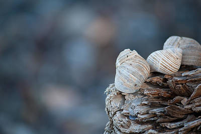 Photograph - Seashells On Driftwood  by Brian Boudreau