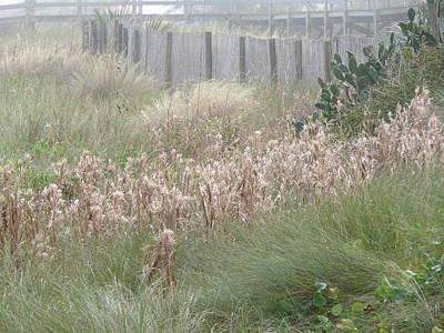 Photograph - Seaside Dune Grasses by Ellen Meakin