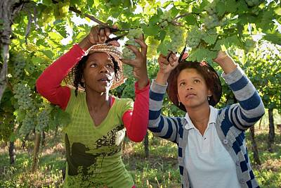 Bunch Of Grapes Photograph - Seasonal Workers Harvesting Grapes by Tony Camacho