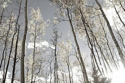 Stellar Interstellar - Silver Birch  by Alanna DPhoto