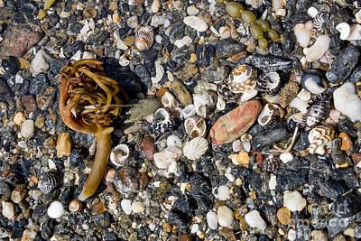Seaweed And Shells Art Print by Steven Ralser