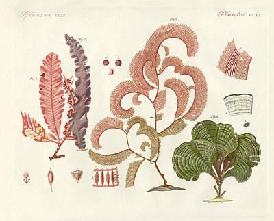 Seaweed Drawing - Seaweed Different Kinds by Splendid Art Prints
