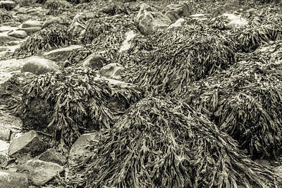Photograph - Seaweed by Semmick Photo