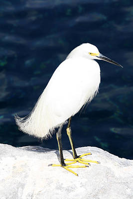 Photograph - Seaworld Egret by David Nicholls