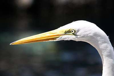 Photograph - Seaworld Great Egret by David Nicholls
