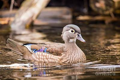Nikki Vig Royalty-Free and Rights-Managed Images - Secluded - Wood Duck by Nikki Vig