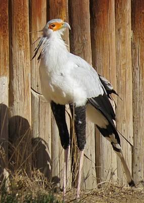 Photograph - Secretary Bird by Nina Donner