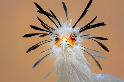 Animals Royalty-Free and Rights-Managed Images - Secretary bird portrait close-up head shot by Johan Swanepoel