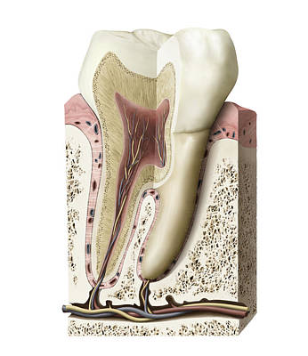 Photograph - Section Of A Molar, Illustration by QA International