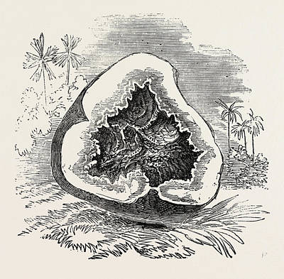 Potato Drawing - Section Of Darjeeling Potato Affected With The Rot by English School
