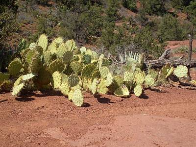 Photograph - Sedona Cacti by Philomena Zito