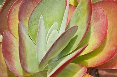 Photograph - Sedum Leaves by Paul Miller