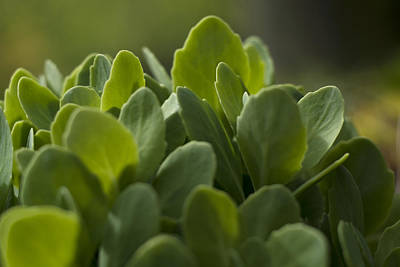 Photograph - Sedum Spectabile by Rebecca Sherman