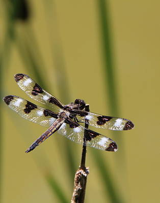 Photograph - See My Dragon Fly by Davandra Cribbie