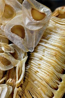 Seed Capsule Of Cardiocrinum Giganteum Art Print by Dr Jeremy Burgess