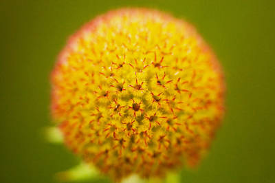 Photograph - Seed Head Coneflower Glacier National Park Painted by Rich Franco