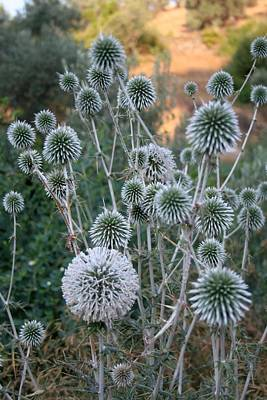 Photograph - Seed Head Of Leek Flower Allium Sphaerocephalon by Tracey Harrington-Simpson
