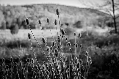 Photograph - Seed Heads Sussex County New Jersey Painted Bw   by Rich Franco