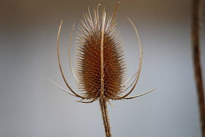 Photograph - Seed Pod by Trent Mallett