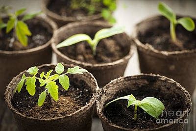 Gardening Photograph - Seedlings  by Elena Elisseeva