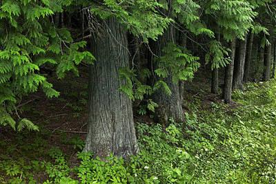 Seeing Cedars Galcier National Park Art Print by Rich Franco