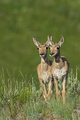 Twin Fawns Photograph - Seeing Double by Sandy Sisti