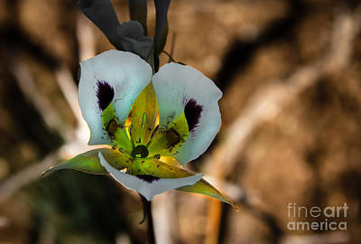 Photograph - Sego Lily by Robert Bales