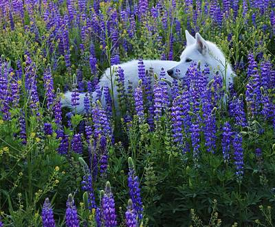 Sekani In Lupine Art Print by Sean Sarsfield