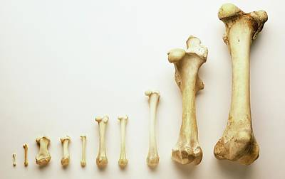 Comparative Anatomy Photograph - Selection Of Thigh Bones by Dorling Kindersley/uig