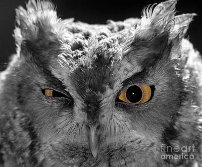 Screech Owl Photograph - Selective Flirting by Skip Willits