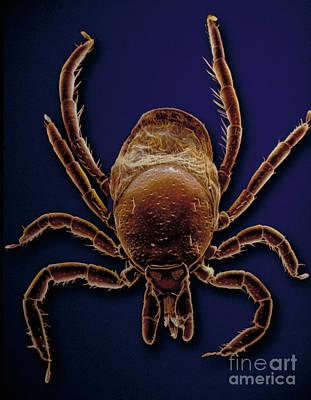Bloodsucker Photograph - Sem Of A Black-legged Tick by David M. Phillips