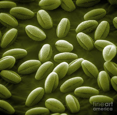 Photograph - Sem Of Grass Pollen by David M. Phillips