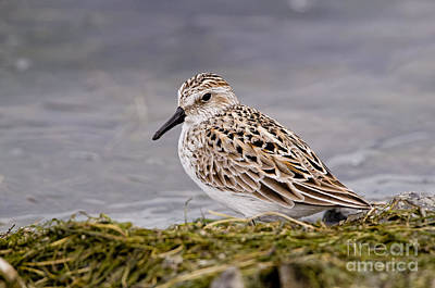 Typographic World Royalty Free Images - Semi-palmated Sandpiper Pictures 9 Royalty-Free Image by World Wildlife Photography