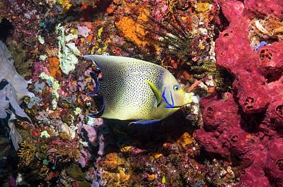 Semicircle Angelfish On A Reef Art Print by Georgette Douwma